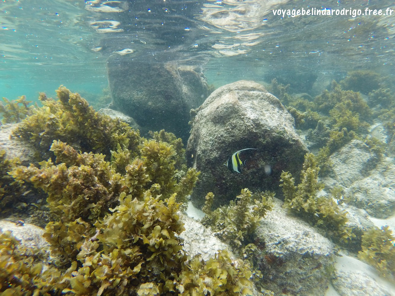 Poisson Idole des Maures - Snorkeling - Anse Royale - Mahé