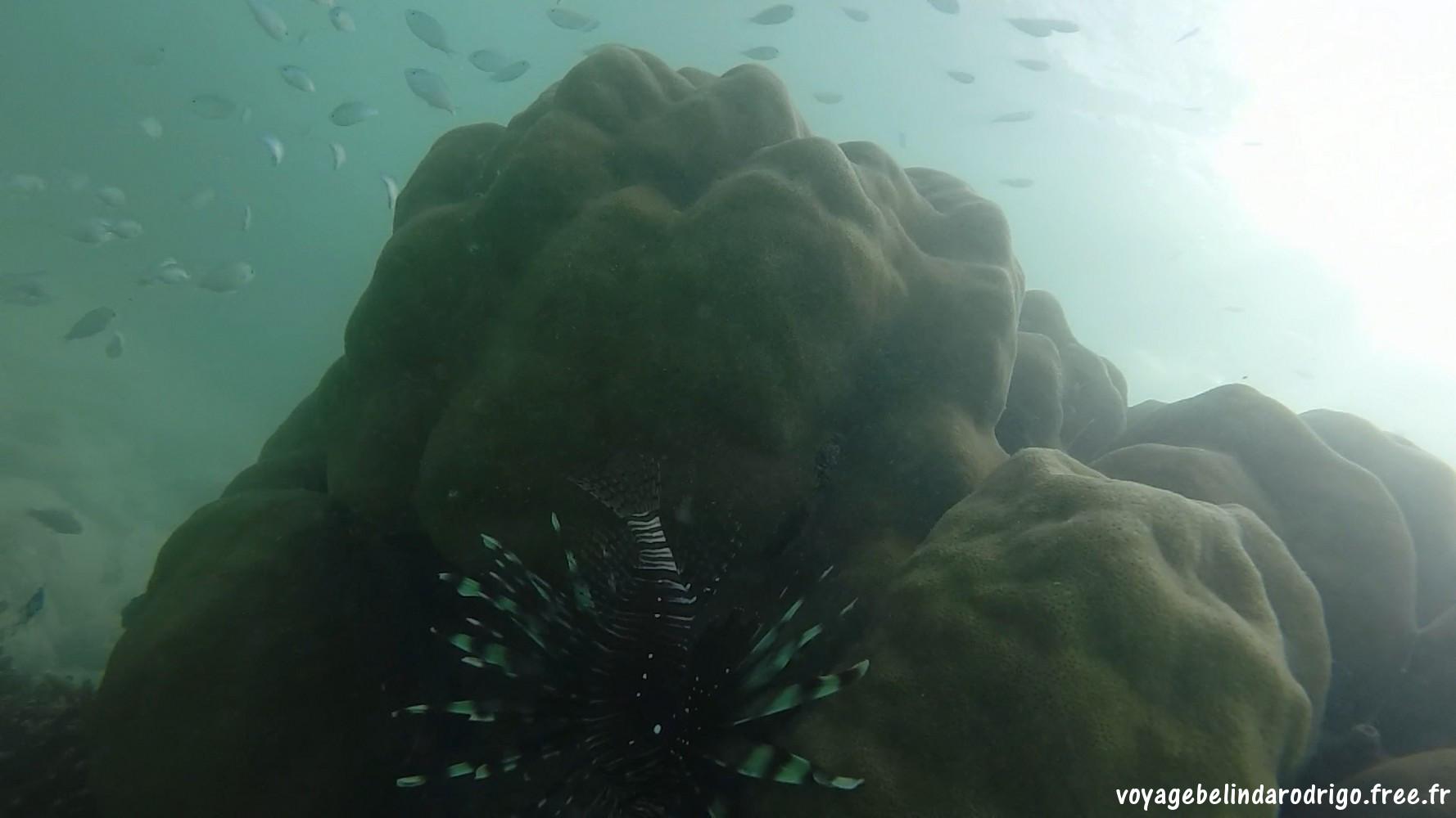 Rascasse volante - Snorkeling - Anse l'Amour - Mahé