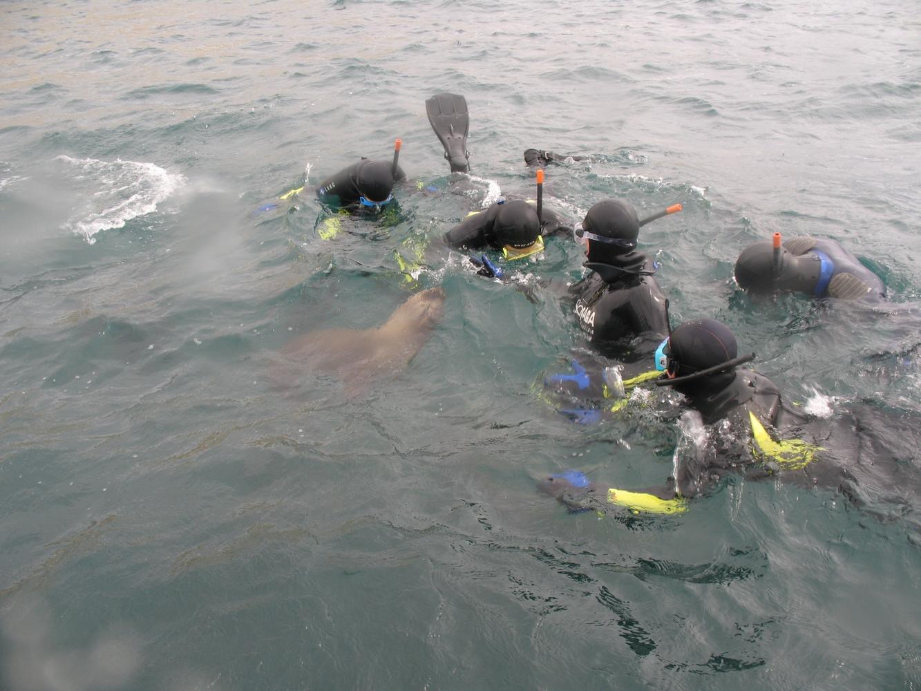 Snorkeling Lions de Mer