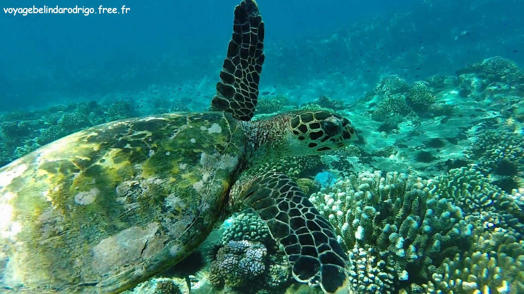 Tortue - Snorkeling -  Îles Félicité et Cocos