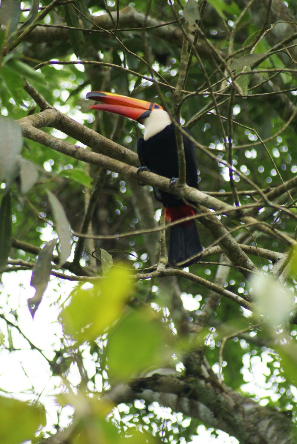 Toucan – Parque Nacional Iguazú