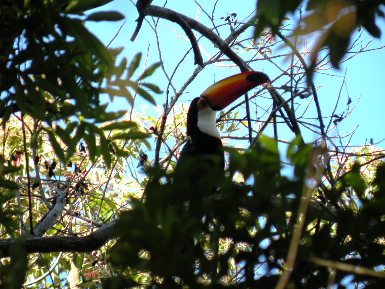 Toucan - Parque Nacional Iguazú