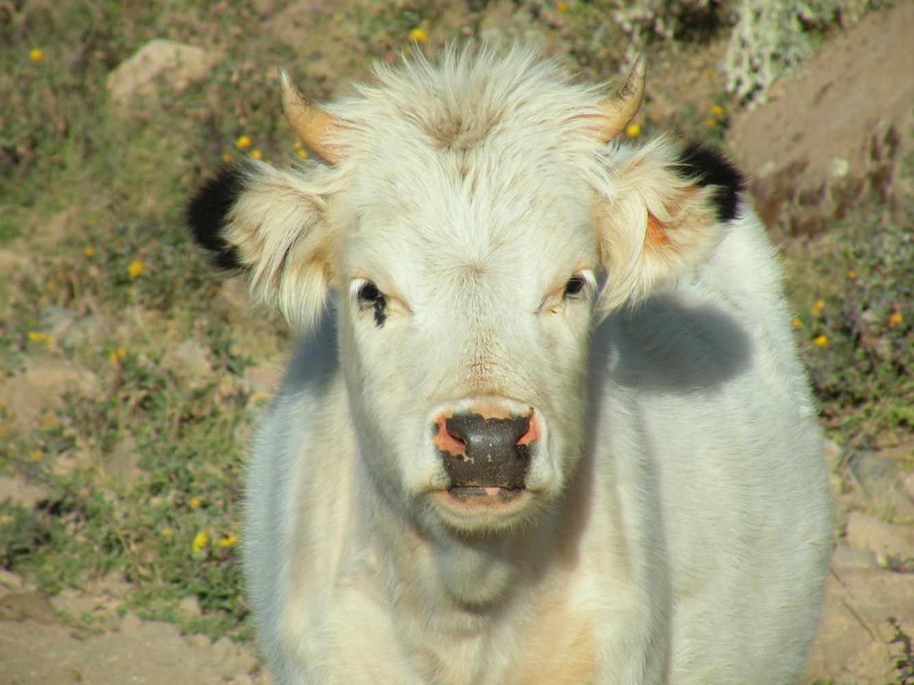 Vaca - Cañon del Colca