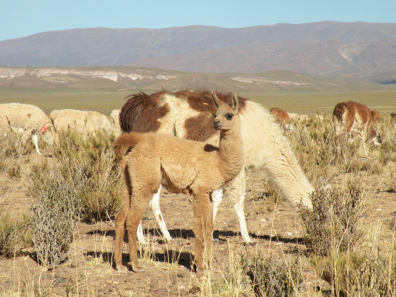 Vigognes et Lamas